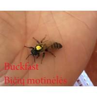 Buckfast bičių motinėlė - Neporuota 2020 SEZONUI