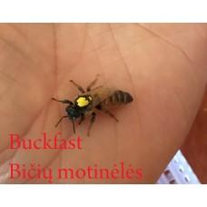 Buckfast bičių motinėlė - Neporuota