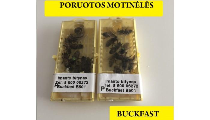 Buckfast bičių motinėlės - PORUOTA 2021
