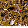Karnika bičių motinėlė(carnica) - Neporuota 2021 SEZONUI