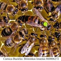 Karnika bičių motina(carnica) 2020m. - PORUOTOS