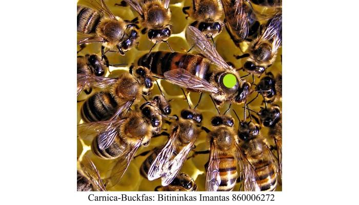Karnika bičių motina(carnica) 2021m. - PORUOTOS