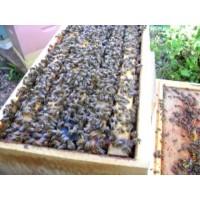 Bičių šeimelė Carnika 5 Dadano lizdiniai rėmai